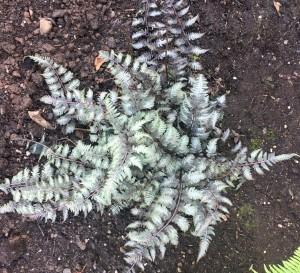 painted fern.jpg