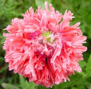 pink ruffled poppy