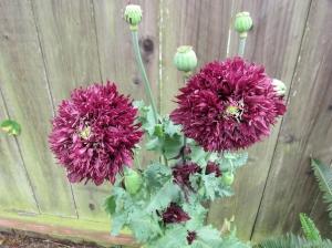 puffy poppy