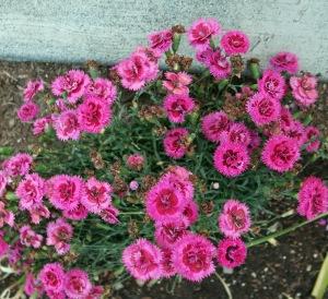 mini carnation blog