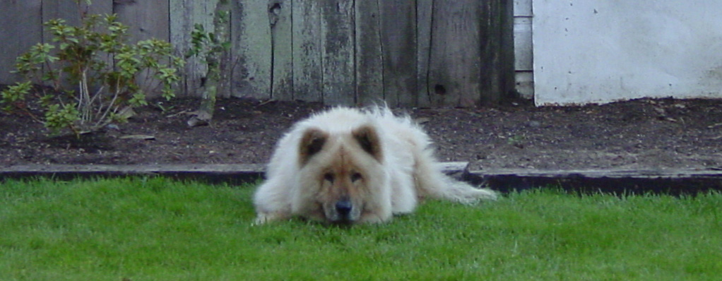 Cream Chow Chow Puppies For Sale Macy Makes Magic