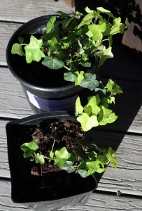 Buttercup Ivy in two pots growing
